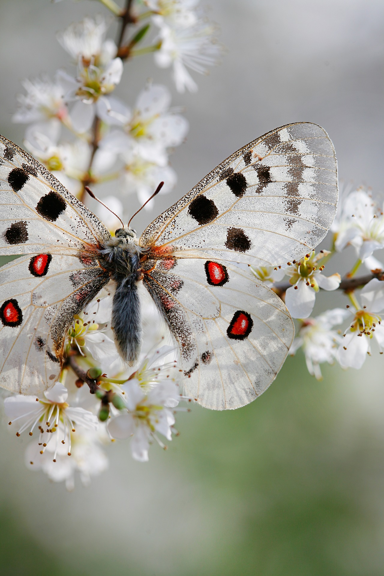 Schmetterling Apollo weiß mit schwarzen und roten Punkten